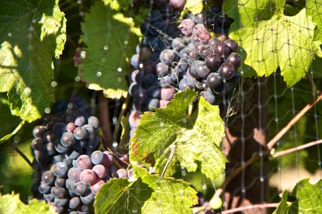 Paraiso Vineyards, River Road, Winery, Joe Sterne Photography, Wine Tasting, Salad bowl