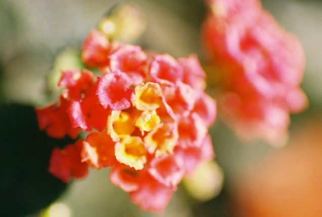 #projectfilm, macro, AE-1, 35mm, Joe Sterne Photography, Sunnyvale CA